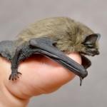 tiny-pipistrelle-bat.jpg.0x545_q100_crop-scale